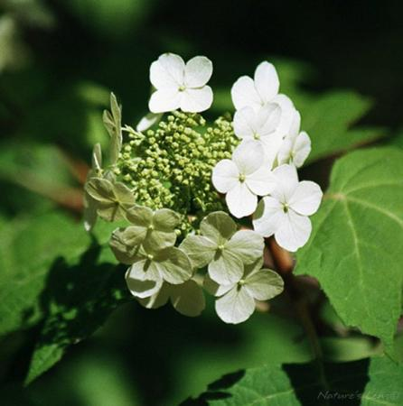 Oak Leaf HydrangeaThis Alabama classic was photographed 