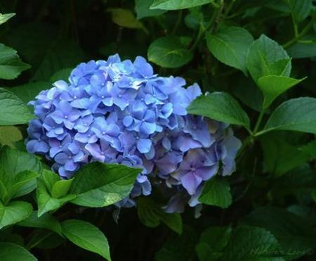 Being Blue Can Be BeautifulStereotypes are not always true. This Nikko Hydrangea